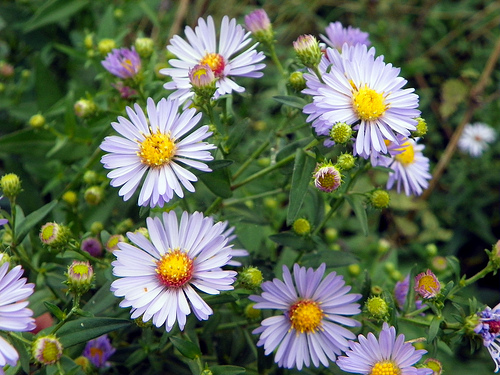 Aster fresh cut flowers