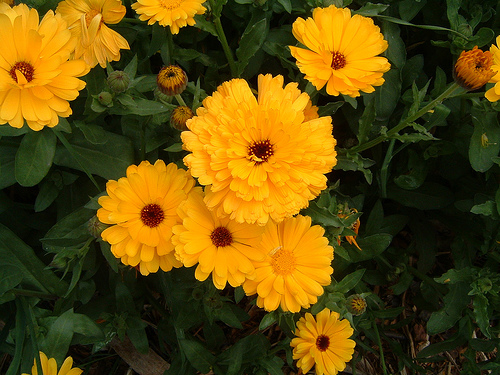 Calendula fresh cut flowers
