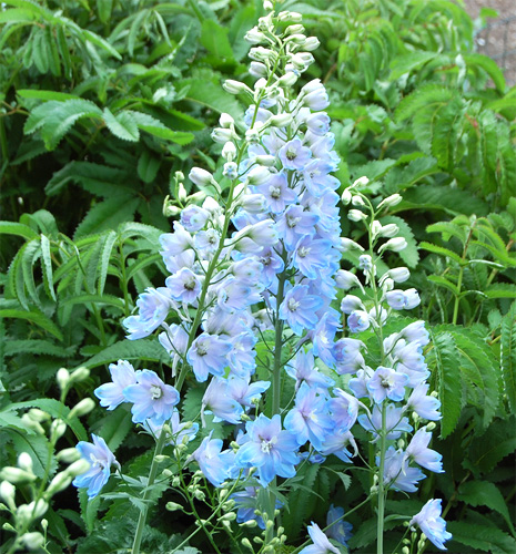 Delphinium fresh cut flowers