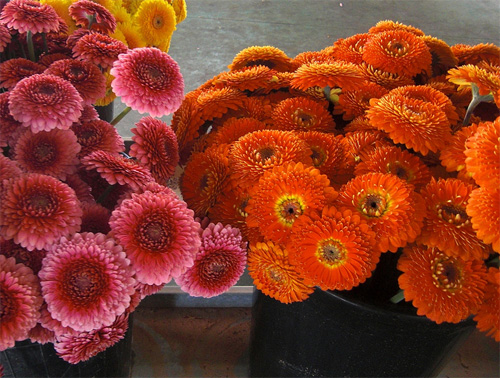 Gerbera mini fresh cut flowers