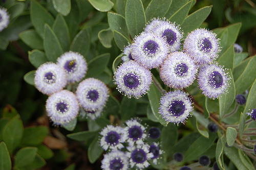 Globularia fresh cut flowers