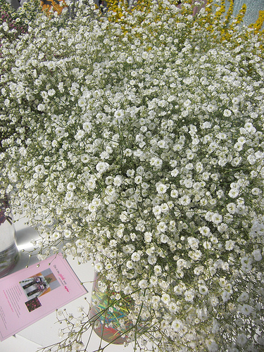Gypsophila fresh cut flowers