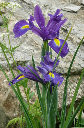 Iris fresh cut flowers