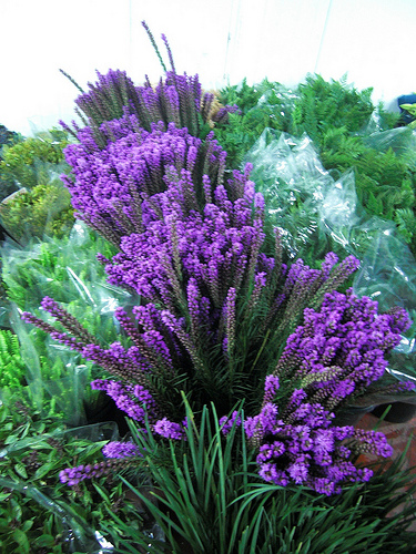 Liatris fresh cut flowers