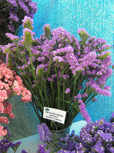 Limonium fresh cut flowers