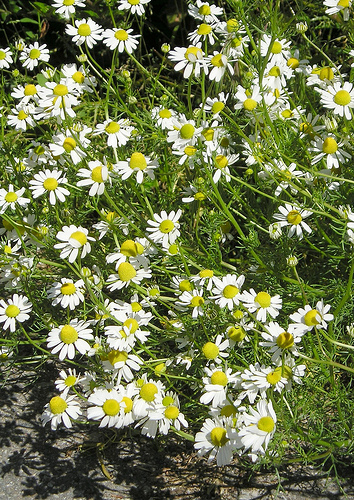 Matricaria fresh cut flowers
