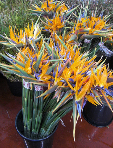 Strelitzia fresh cut flowers