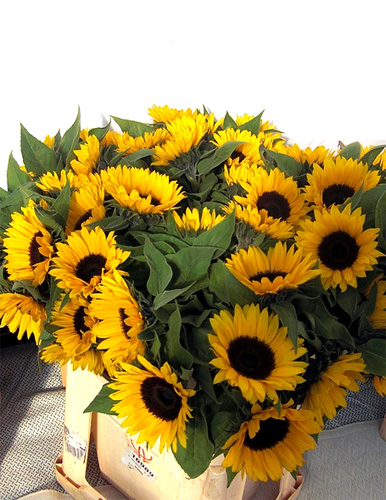 Sunflower fresh cut flowers