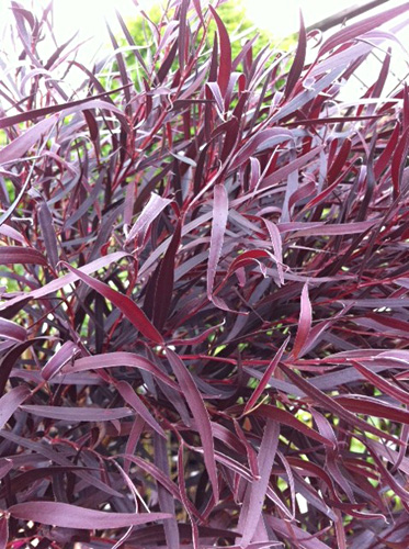 Agonis fresh cut foliage