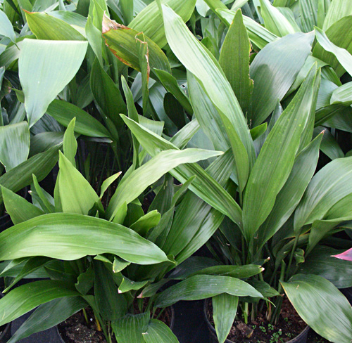Aspidistra fresh cut foliage