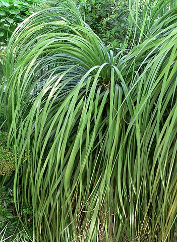 Bear grass fresh cut foliage