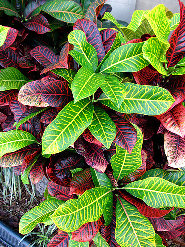 Croton fresh cut foliage