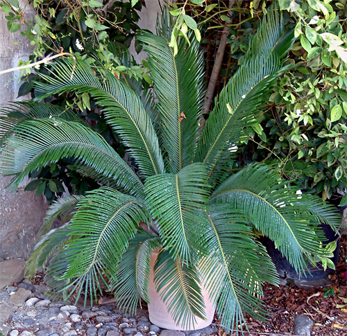 Cycas fresh cut foliage