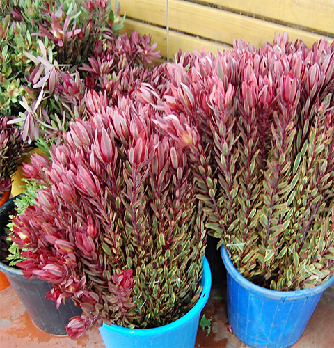 Leucadendron fresh cut foliage