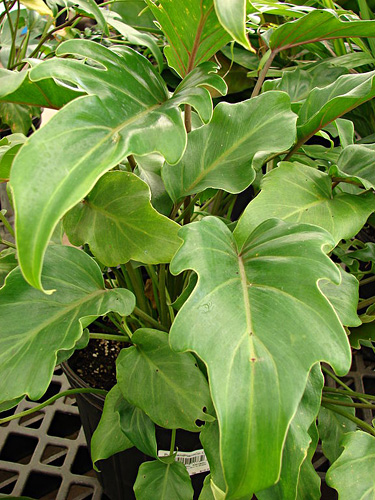 Philodendron fresh cut foliage