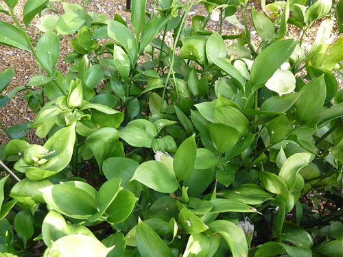 Ruscus fresh cut foliage