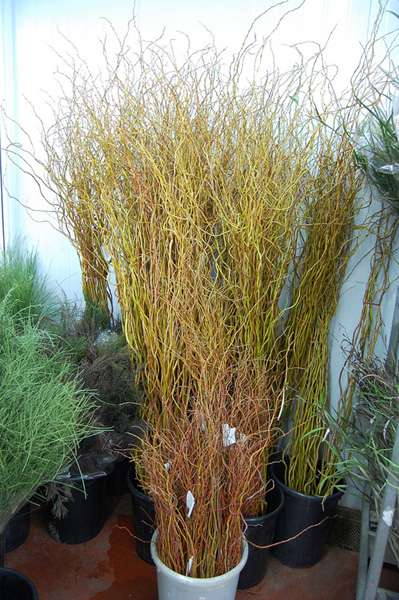 Salix fresh cut foliage